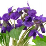 http://www.dreamstime.com/royalty-free-stock-photo-violets-isolated-white-background-image13701965